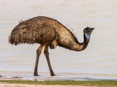 emu (Dromaius novaehollandiae) / emoe.