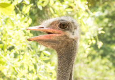 Female Emu Stock Images.