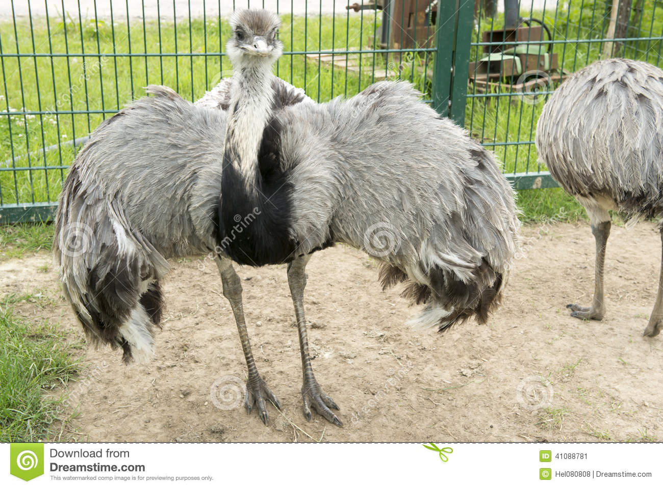 Emu Spread Out Wings Stock Photo.