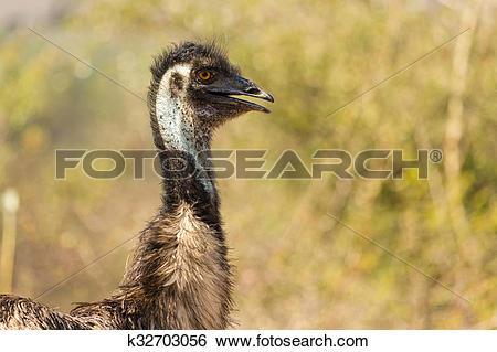 Stock Images of emu bird in india k32703056.
