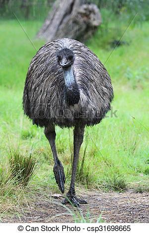 Stock Image of Emu (Dromaius novaehollandiae) in the rain in.