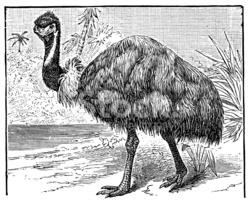 Antique Illustration of EMU (dromaius Novaehollandiae) stock.