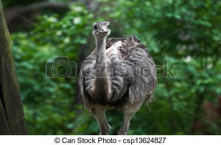 Stock Photo of Emu (Dromaius novaehollandiae).