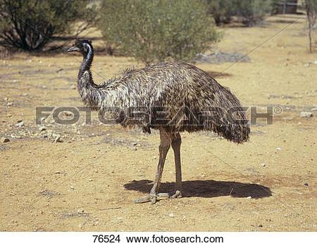 Stock Photo of Emu.