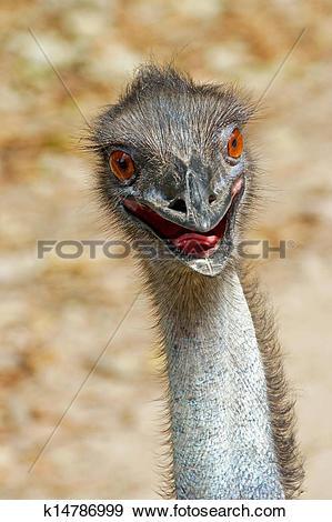 Stock Photograph of Close up of an emu (Dromaius novaehollandiae.