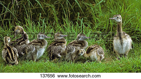 Stock Images of young Emus on meadow / Dromaius novaehollandiae.