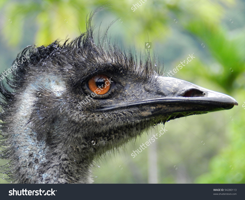 Emu (Dromaius Novaehollandiae), Large, Flightless Australian Bird.
