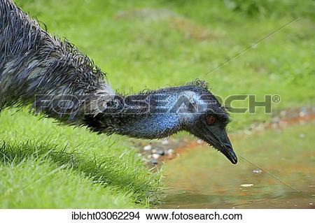 "Stock Photo of ""Emu (Dromaius novaehollandiae), drinking."