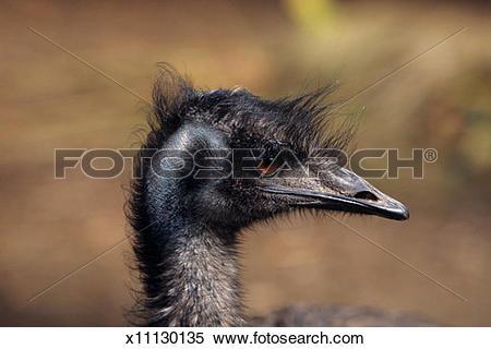 Stock Image of Emu (Dromaius novaehollandiae), close.