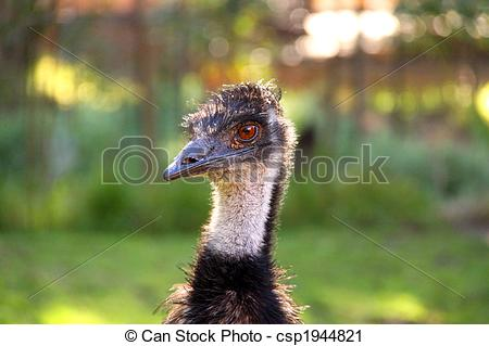 Stock Photography of Emu.