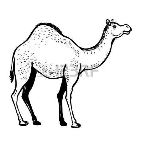 1,060 Dromedary Camel Stock Vector Illustration And Royalty Free.