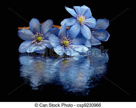 Stock Image of Hepatica nobilis flowers on a black background with.