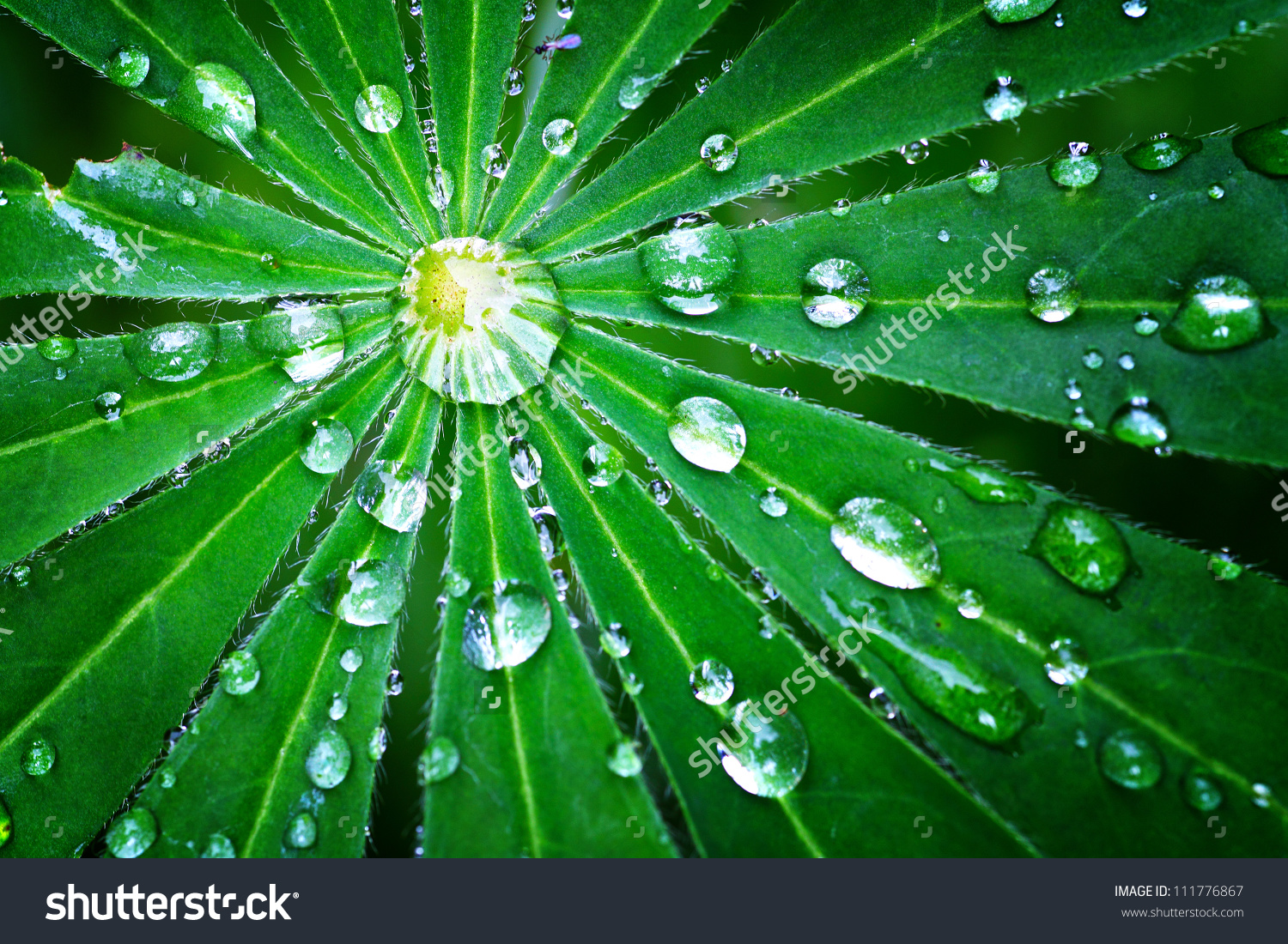 Droplet Of Dew On A Green Leaf Closeup Shot Stock Photo 111776867.