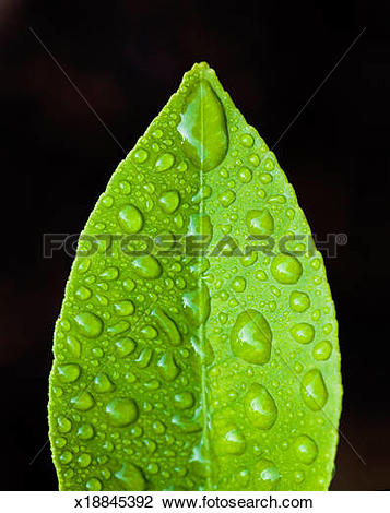 Stock Photo of Lemon leaf with morning dew, close.