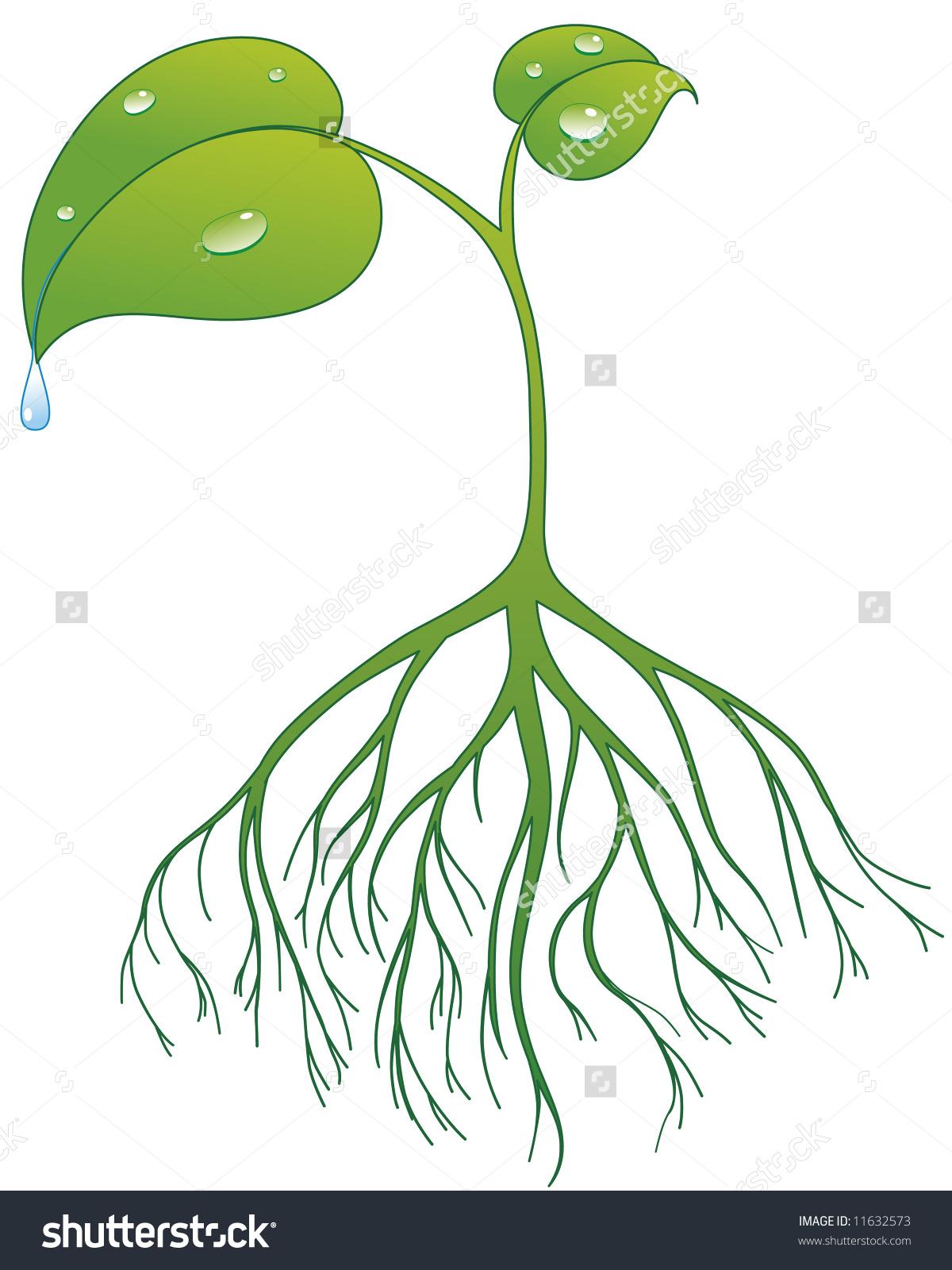 Plant Root Drops Stock Vector 11632573.
