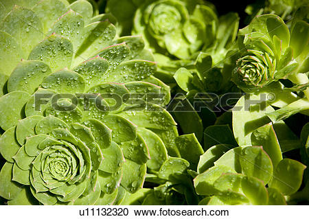 Stock Photography of Vibrant green plant with dew drops u11132320.