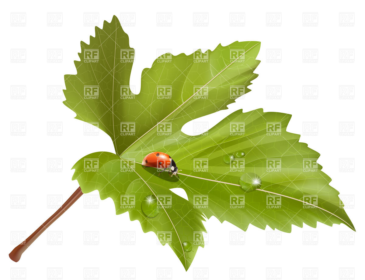 Ladybird on leaf with water drops Vector Image #5101.