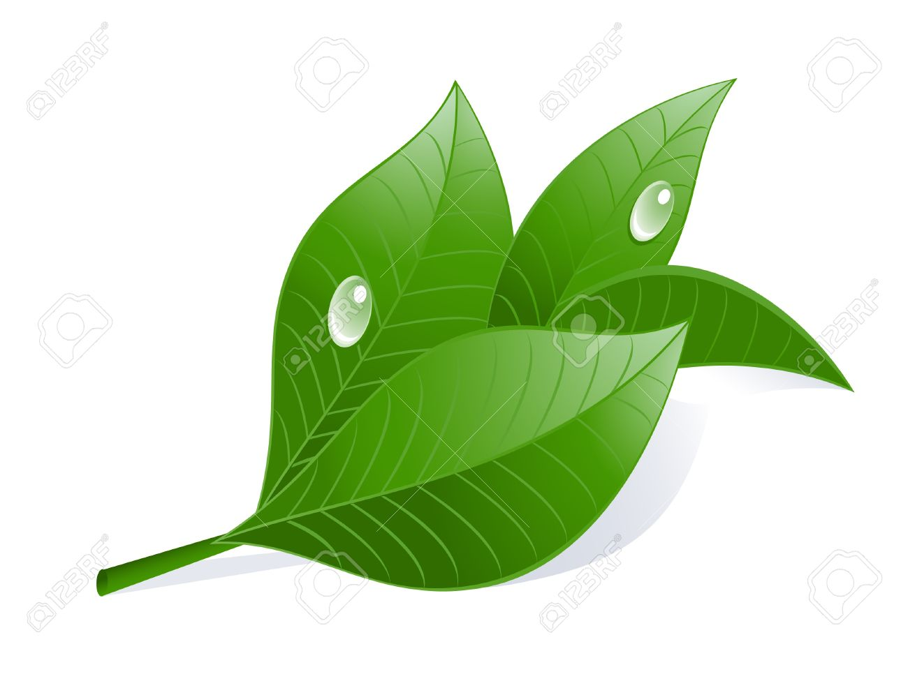 Green Tea Leaves With Drops. Royalty Free Cliparts, Vectors, And.