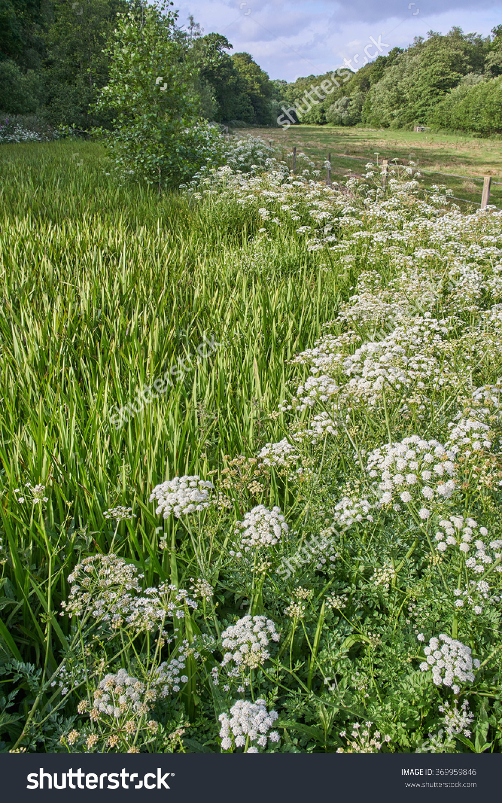Hemlock Water Dropwort Growing By An Overgrown Pond With Branched.