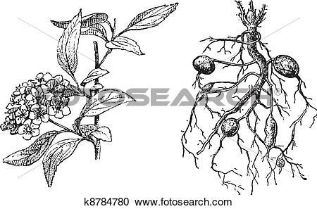 Clipart of Spirea Lanceolate, Dropwort Meadowsweet, vintage.