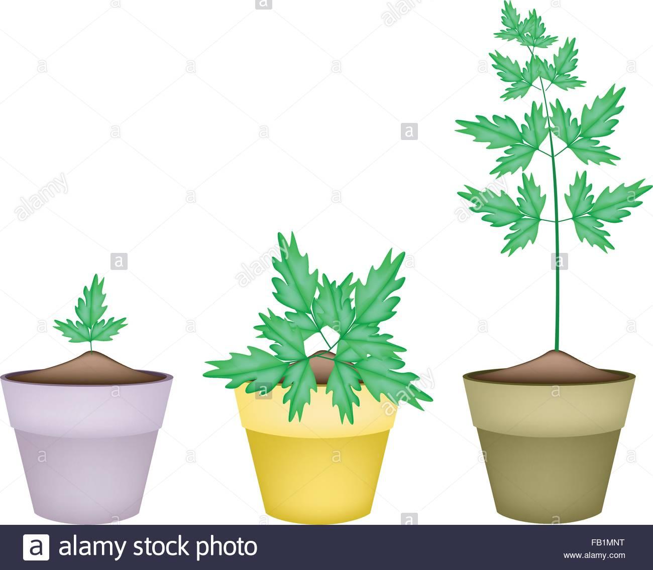 Vegetable And Herb, Illustration Of Three Fresh Water Dropwort Or.