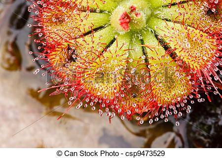 Stock Photographs of Drosera tokaiensis Carnivorous Plant That.