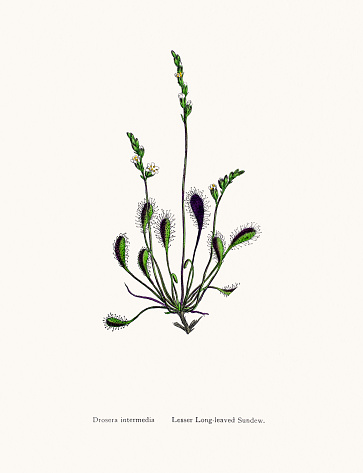Drosera Clip Art, Vector Images & Illustrations.