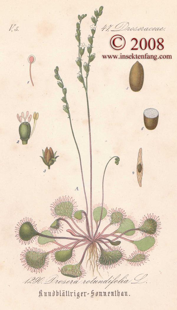 Drosera rotundifolia, D longifolia, D intermedia, D x obovata.