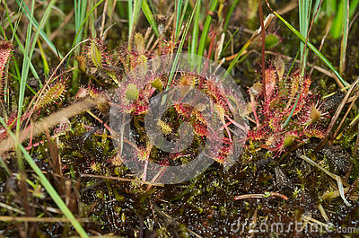 Sundew (Drosera Burmannii Vahl) Royalty Free Stock Images.