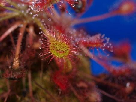 Carnivorous, Plant.