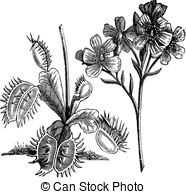 Droseraceae Clip Art and Stock Illustrations. 12 Droseraceae EPS.