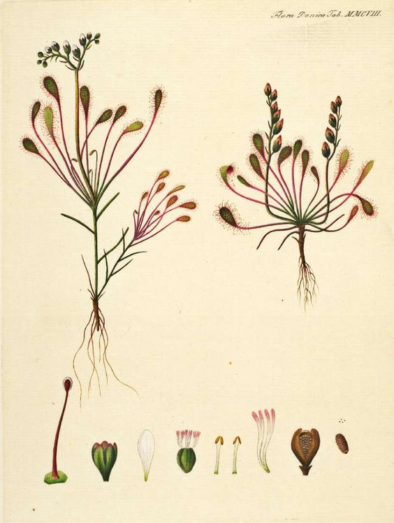 Drosera intermedia Hayne Oeder, G.C., Flora Danica, Hft 36, t.