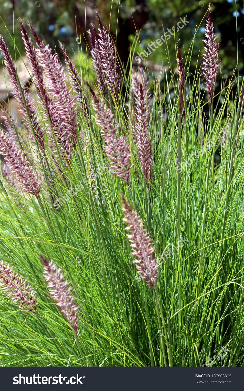 Pennisetum Setaceum Perennial Bunch Grass Droughttolerant Stock.