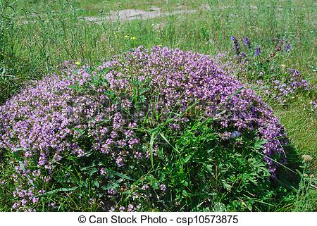 Picture of thyme, medicinal plant.
