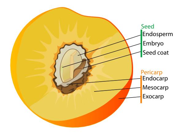 Drupe Fruit Diagram En clip art Free Vector / 4Vector.