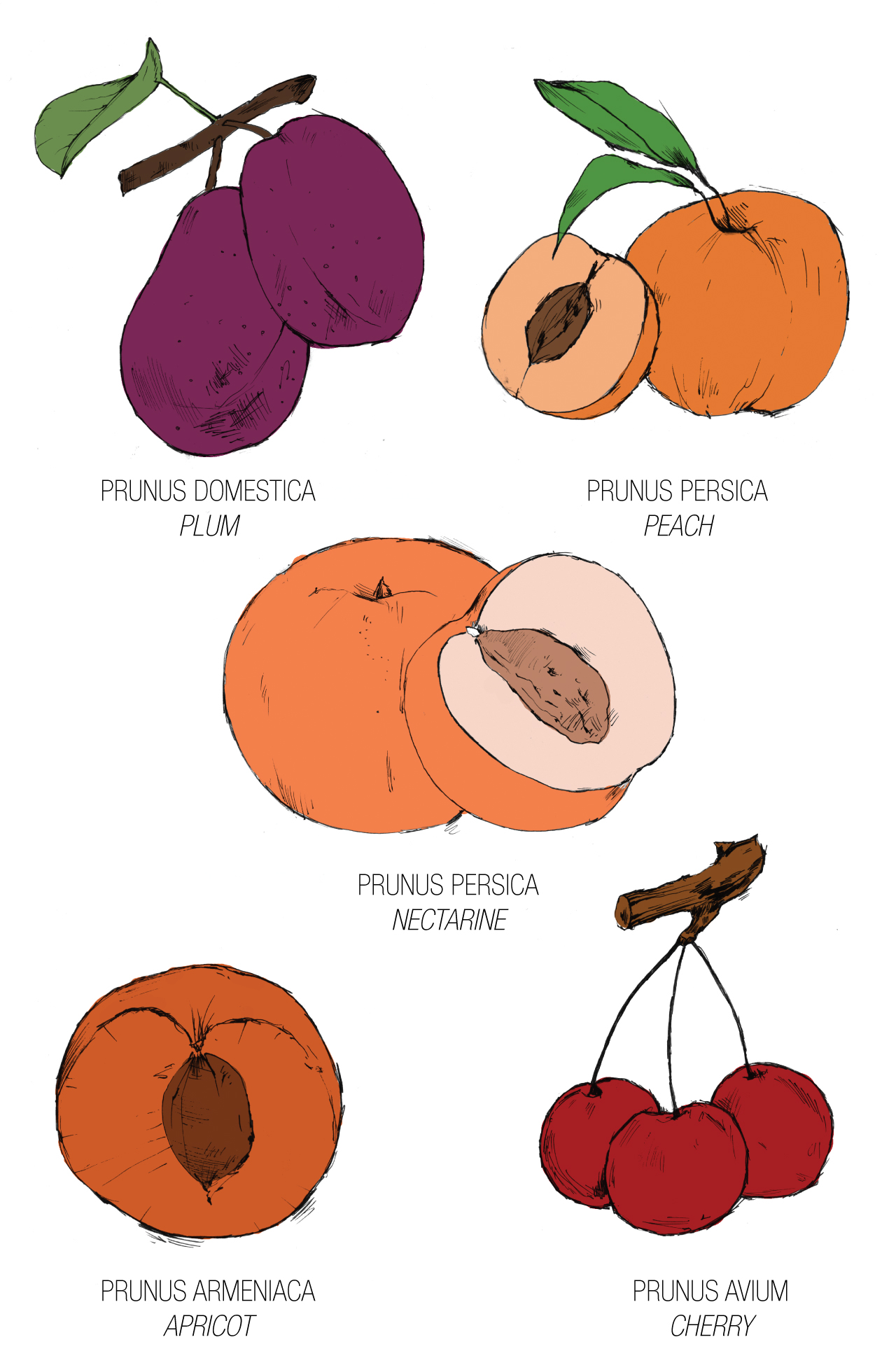 What is a Drupe?.