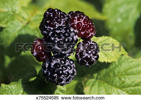Stock Image of Closeup of Black Raspberries, Rubus spp, aggregate.