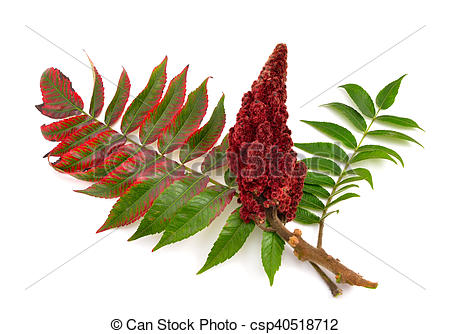 Clipart of Drupes of a staghorn sumac..
