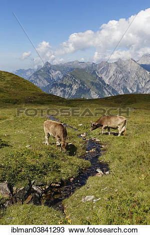 "Stock Photo of ""Cows grazing on a mountain stream, Sonnenkopf."