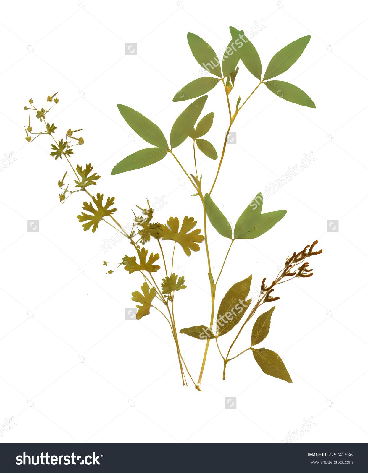Dry Herbarium Plants Flowers Leaves Vector Stock Vector 225741586.