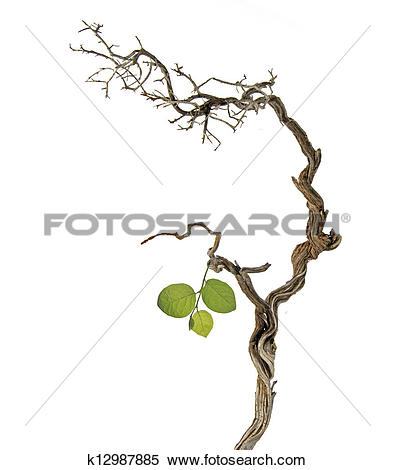 Stock Image of Dry branch with new leaf k12987885.