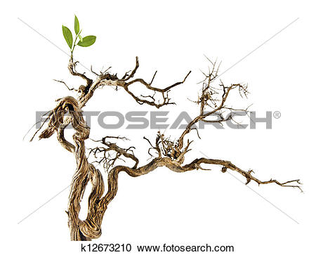Stock Photography of Dry branch with new leaf k12673210.