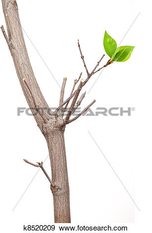 Stock Photograph of Dry branch with leaf buds k8520209.