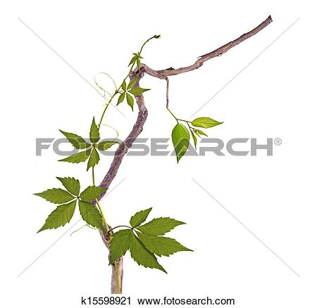 Stock Photography of Dry branch and vine k15598921.