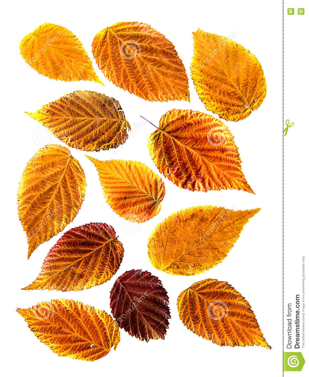 Oil Paint Dry Fall Orange, Yellow, Red Leaf Of Raspberry, Draw.