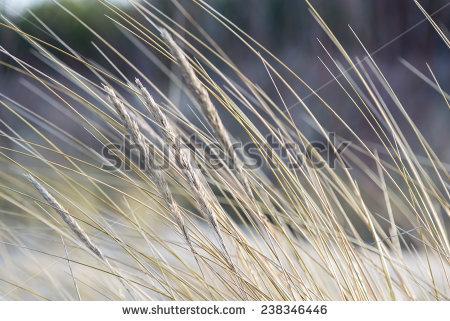 Single bent grass clipart.