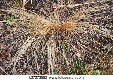 Clip Art of Dry grass. the beam is dried up. k37073552.
