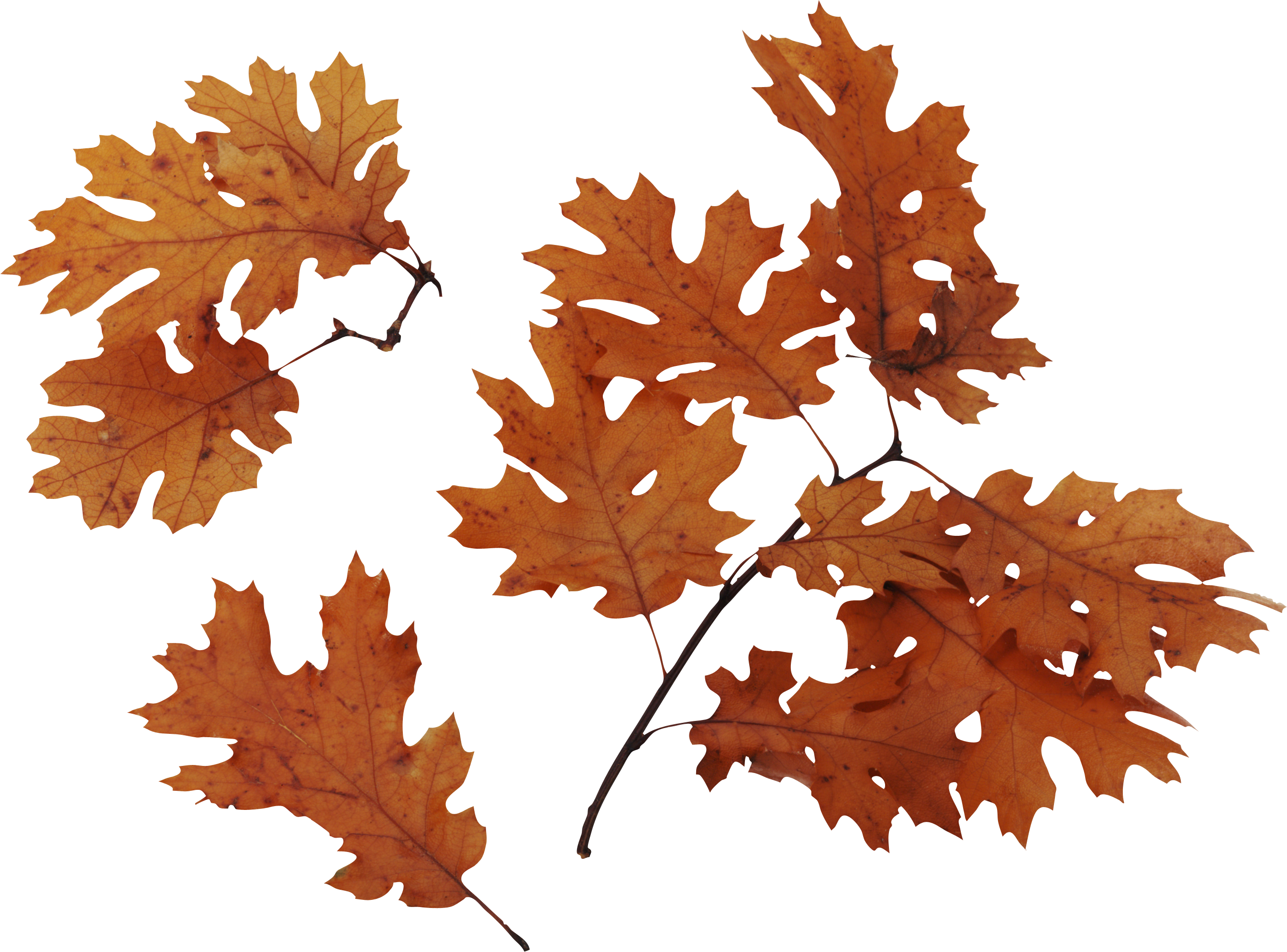 One dry leaf clipart 20 free Cliparts | Download images on ...