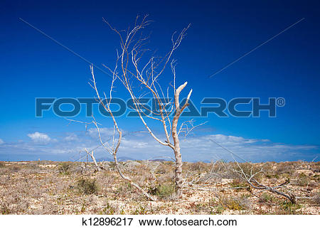 Picture of Fuerteventura, dry tree k12896217.