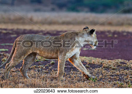 Stock Photo of Close up side view of lioness with wet fur stalking.